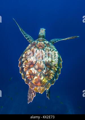 Grüne Meeresschildkröte, Chelonia mydas, Hin Muang, Thailand aufgenommen - Stockfoto