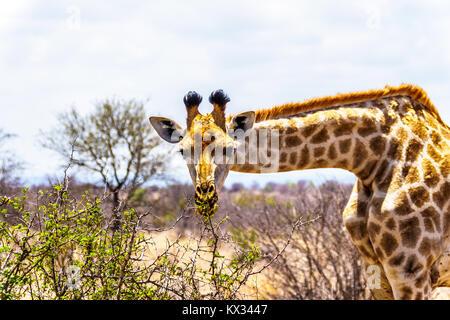In der Nähe von eine Giraffe mit Blick auf die Kamera in der Savanne im Zentrum von Kruger Nationalpark in Südafrika Stockfoto