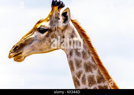 Nahaufnahme eines Giraffe Kopf in der Krüger Nationalpark in Südafrika Stockfoto