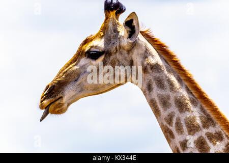 Nahaufnahme eines Giraffe klemmt er seine Zunge in der Krüger Nationalpark in Südafrika - Stockfoto