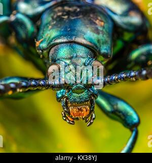 Makro Bild eines grünen Frosch Legged Käfer (Sagra Buqueti) - Stockfoto