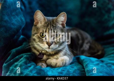 grauer stuhl bei katzen scottish fold katze sitzend auf einem weien stuhl und schaut in die. Black Bedroom Furniture Sets. Home Design Ideas