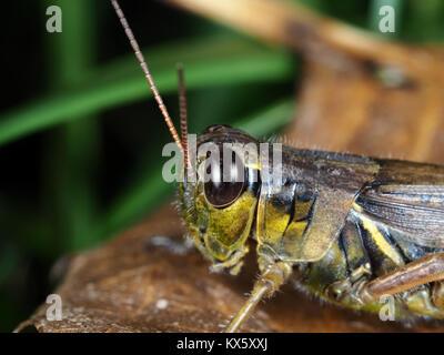 Red-legged Grasshopper (Melanoplus femurrubrum) close-up - Stockfoto