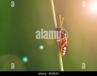 Wasp am Stengel. Makro Fotografie insekt - Stockfoto