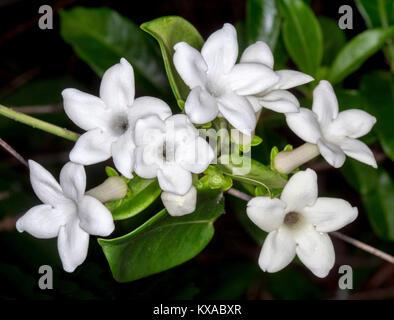Cluster von duftenden weißen Blüten und Smaragd Blätter des ...
