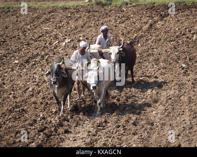Ein Bauer benutzt Rinder und von Holz für die traditionelle Landwirtschaft auf einem Feld, Ranakpur, Rajasthan, - Stockfoto