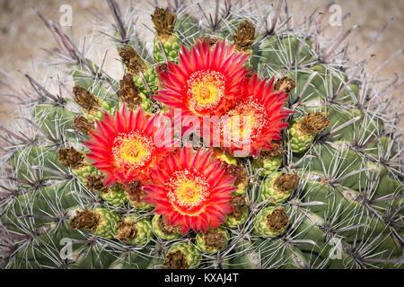 Rote Blüte Angelhaken Barrel Kaktus (Ferocactus wislizeni), Tucson, Arizona, USA - Stockfoto