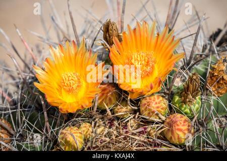 Orange blühende Angelhaken Barrel Kaktus (Ferocactus wislizeni), Tucson, Arizona, USA - Stockfoto