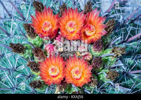 Orange-rote Blüte Angelhaken Barrel Kaktus (Ferocactus wislizeni), Tucson, Arizona, USA - Stockfoto