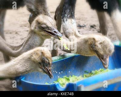 Austern essen Frühstück im Zoo, der zieht viele seltene Tiere für Besucher das Wochenende zu besuchen. - Stockfoto