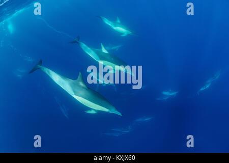 Lange-beaked Common dolphin, Scholl von Delphinen, Delphinus capensi, Porth Elizabeth, der Algoa Bay, Nelson Mandela - Stockfoto