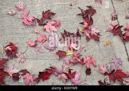 Acer saccharinum - Stockfoto