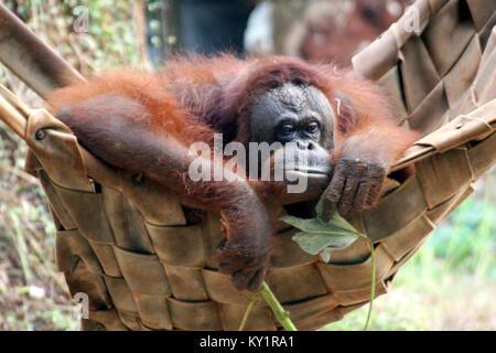 Die Bornesischen Orang-utan (Pongo pygmaeus) - Stockfoto