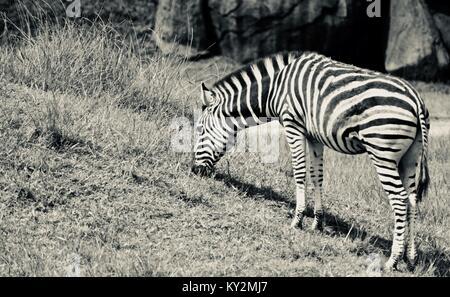 Zebra, Equus quagga, beweidung Australia Zoo, Beerwah, Queensland, Australien - Stockfoto