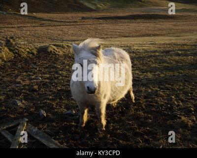 Shetland pony im Feld - Stockfoto