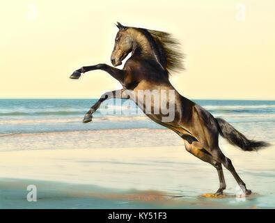 Morgan Horse Hengst - Stockfoto