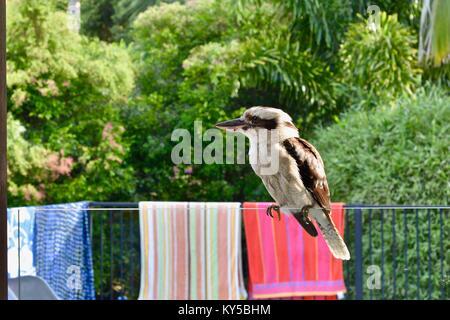 Laughing Kookaburra (Dacelo novaeguineae) sitzt auf einem Glas pool Zaun, Sunshine Coast, Queensland, Australien - Stockfoto