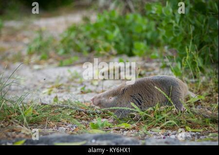 Ein Cape Dune Maulwurf, Ratte macht eine seltene Erscheinung über Boden in Struisbay, Western Cape, Südafrika - Stockfoto