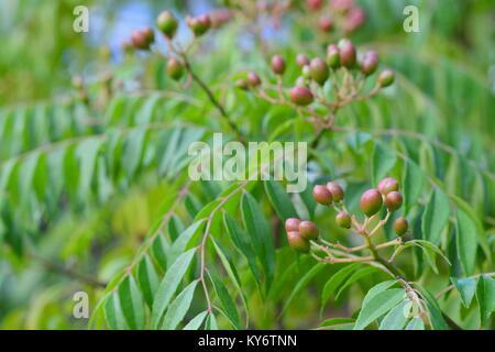 Beeren Obst auf einem curry Tree (Murraya koenigii), Sunshine Coast, Queensland, Australien - Stockfoto