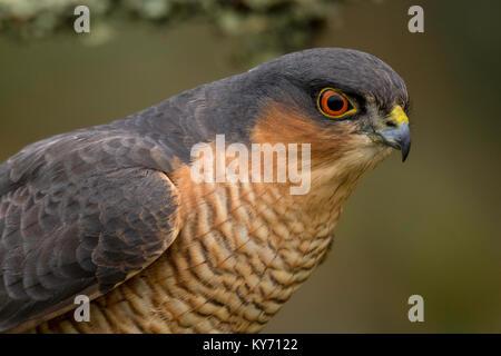 Ein männlicher Sperber, Accipiter Nisus, wacht über die kleinen Vögel im Garten. - Stockfoto