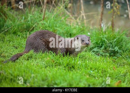 Eurasischen oder gemeinsamen Otter - Stockfoto