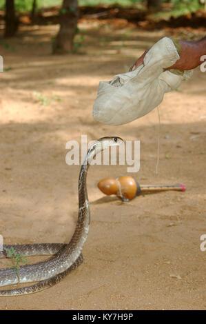 Snake Catcher nutzt seine Tasche von Kräutern verwendet eine Indische Kobra zu beruhigen, Naja naja, Tamil Nadu, - Stockfoto