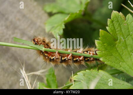 Schmetterling Raupe' Painted Lady' - Stockfoto