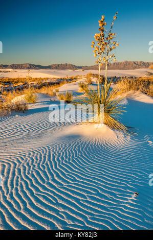 Aka Soaptree yucca Yucca elata im Dunes aus Gips Kristalle bei Sonnenaufgang, White Sands National Monument, New - Stockfoto