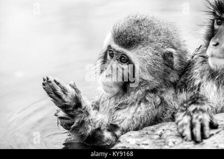 Schnee Affen sind in einer heißen Quelle in Jigokudani Yaen-Koen (Wild Snow Monkey Park), Präfektur Nagano, Japan. - Stockfoto