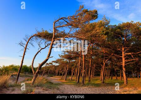 Pinienwald am Strand an der Ostsee Küste in Rowy, Polen - Stockfoto