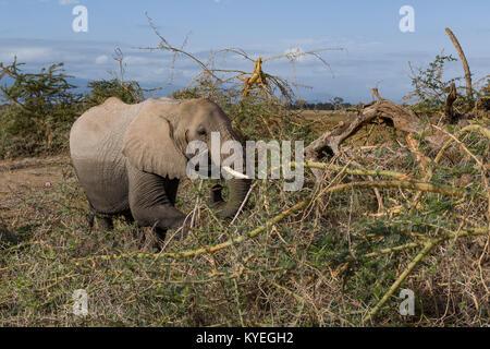 Weibliche Elefanten auf der Suche nach Nahrung (Bush mit Dorn) bei sehr trockenen Jahreszeit in staubigen Wüste, - Stockfoto