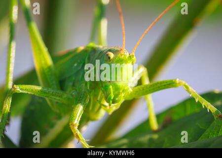 Makro head View close-up eine große Green Bush - Kricket, Tettigonia Viridissima. - Stockfoto