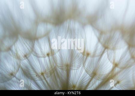 Abstrakt, Kunst, Makro, extreme Close-up von Löwenzahn Samen in low light, mit detaillierten lace-wie Muster und - Stockfoto