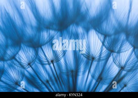 Abstrakt, Kunst, Makro, extreme Close-up von Löwenzahn Samen in blauem Licht, mit detaillierten lace-wie Muster - Stockfoto