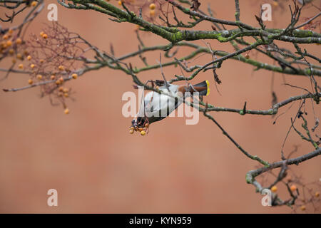 Atemberaubende Erfassung eines einzigen, Erwachsene (Waxwing Bombycilla garrulus) Kopfüber, eifrig Fütterung im - Stockfoto
