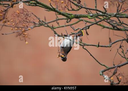 Atemberaubende Erfassen von hungrigen, Erwachsenen (Waxwing Bombycilla garrulus) isolierten Kopfüber, Fütterung - Stockfoto