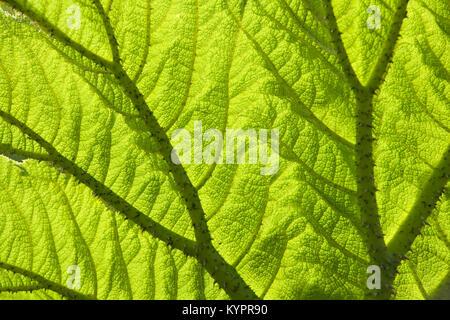 Gunnera Blatt mit Hintergrundbeleuchtung full frame Hintergrund Textur Nahaufnahme - Stockfoto