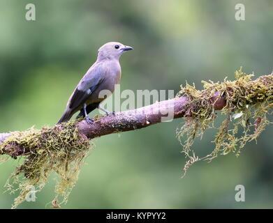 Blau-grau Tanager (Thraupis episcopus) in Costa Rica - Stockfoto
