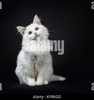Blue eyed Ragdoll Katzen/Kätzchen saß auf schwarzem Hintergrund sehr süß isoliert - Stockfoto