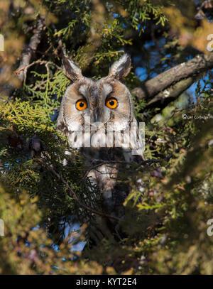 Lange eared owl Asio otus in einem Kiefer mit orangefarbenen Augen in die Sonne Osteuropa Ungarn. - Stockfoto