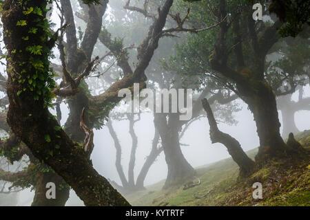 Alten Lorbeerwald Mountain Mist, Fanal, Madeira - Stockfoto