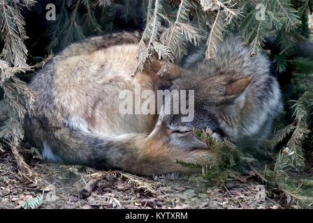 Eine schlafende Kanadische Timber Wolf rollte sich unter einem Busch - Stockfoto