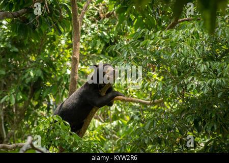 Sun Bear auf einem Ast zwischen Blättern im Bornesischen Sun Bear Conservation Centre Sepilok in Sabah, Borneo, - Stockfoto
