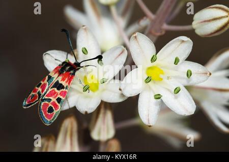 Burnet Motten (Zygaena Fausta) auf lila Wiese Blume Stockfoto, Bild ...