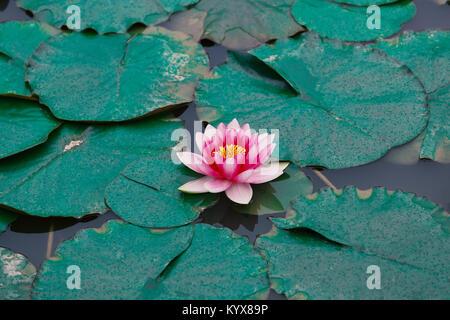 Lotus - Stockfoto