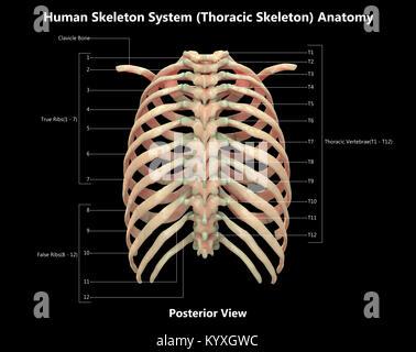 Menschliches Skelett System thorakale Skelett Label Design anteriore ...