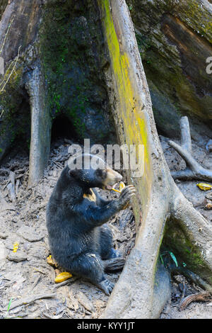 Gefährdete bornesischen Sun Bear (Helarctos malayanus) Fütterung, Sun Bear Conservation Centre, Sepilok, Borneo, - Stockfoto