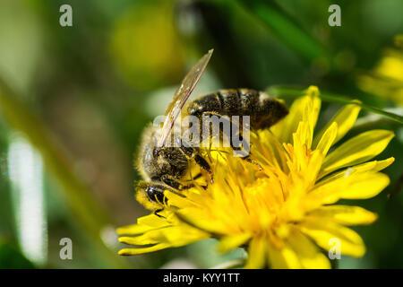 Nahaufnahme der Honigbiene bestäubt auf gelbe Blume - Stockfoto