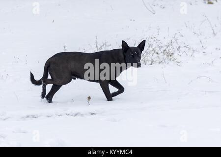 Schwarzer streunender Hund bewacht sein Gebiet auf einem frischen Schnee - Stockfoto