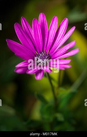 Nairobi Lila, Osteospermum oder daisybush Blume, Kenia, Ostafrika - Stockfoto